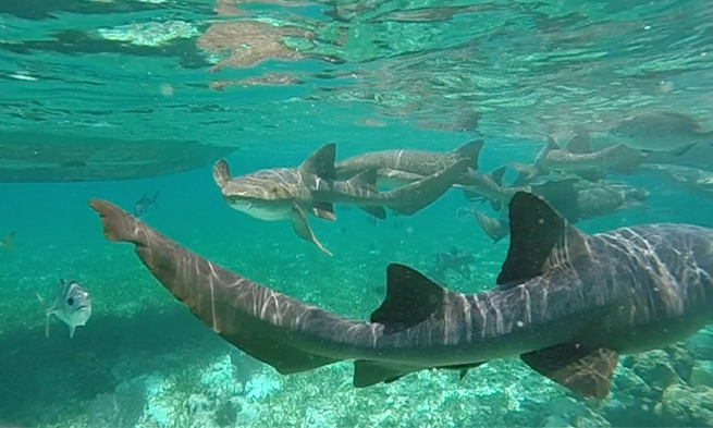 Tubach Swimming with Sharks Belize