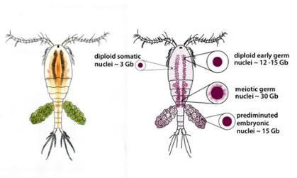 The freshwater microcrustacean copepod, Mesocyclops edax as it appears in nature. Embryos excise 80% of their genome from cells destined to form somatic tissues in a process termed chromatin diminution.