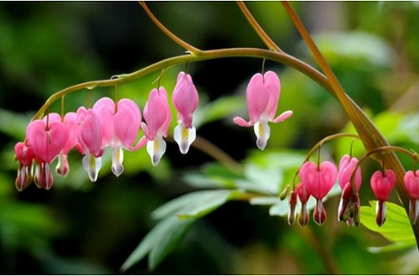 Bleeding Heart Plants