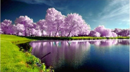 Cherry Trees by lake