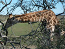 giraffe eating out of tree