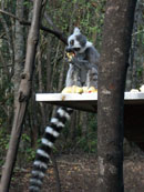 lemur eating apples in a tree