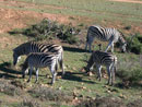 four zebras grazing